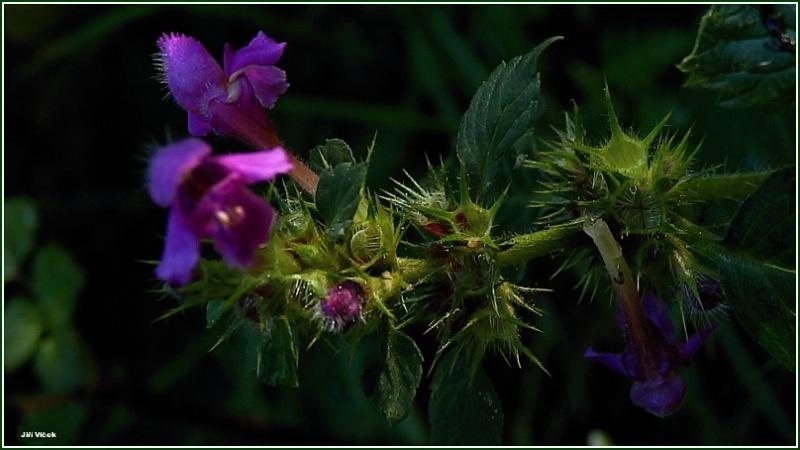 Vrbetin - Kdyz rozkvete les (18)