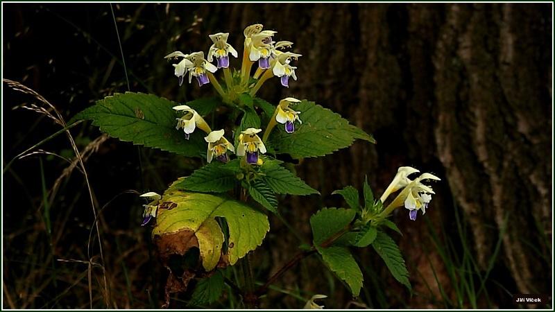 Vrbetin - Kdyz rozkvete les (4)